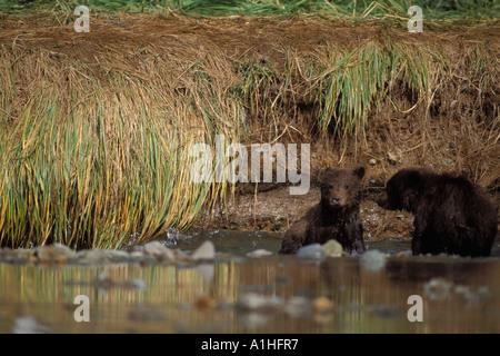 Braunbär Ursus Arctos Grizzly Bär Ursus Horribils jungen springen im Fluss zu halten mit ihrer Mutter Katmai Nationalpark - Stockfoto