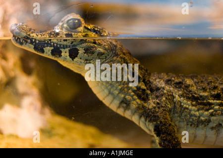 Baby-Krokodil-Profil - Stockfoto
