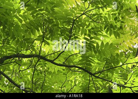 Walnuss Baum Zweige - Stockfoto