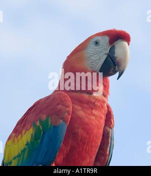 Eine Scarlet Macaw Ariau Towers nr Manaus Amazonas Brasilien - Stockfoto