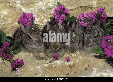 Vier Baby-Baumwollschwanzkaninchen (Sylvilagus Floridanus) auf Klippe von wild rose Verbina Blumen Missouri USA - Stockfoto