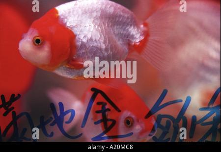Koi karpfen fisch reize der finanziellen wohlstand f r for Koi und goldfische