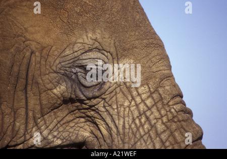 Nahaufnahme von afrikanischen Elefanten Auge und Stirn - Stockfoto
