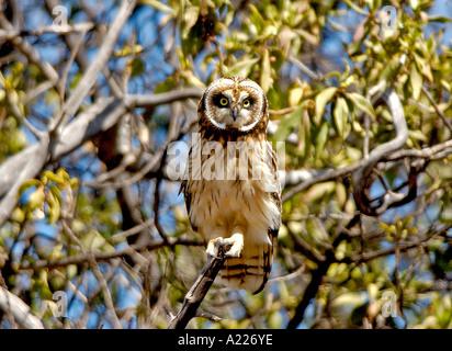 Kurze Eared Owl Pueo Asio Flammeus sandwichensis - Stockfoto