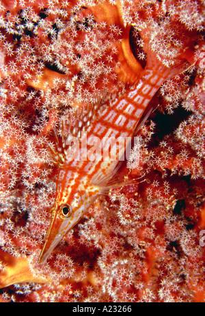 Longnose hawkfish - Stockfoto