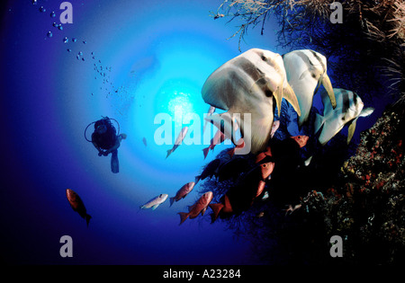 Taucher mit batfishes - Stockfoto