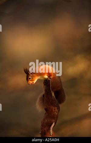 Eichhörnchen 8 - Stockfoto