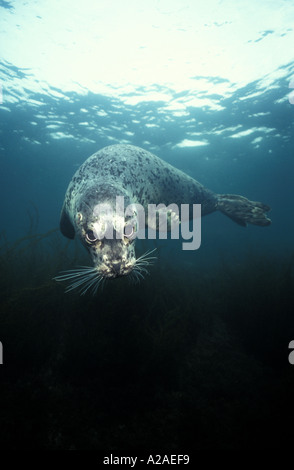 HARBOR SEAL Phoca Vitulina BRITISH COLUMBIA Kanada Pazifik. Foto Copyright Brandon Cole - Stockfoto