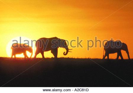 Afrikanische Elefanten Loxodonta Africana in der Morgendämmerung Silhouette gegen einen orangefarbenen Himmel und - Stockfoto