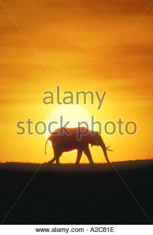 Ein afrikanischer Elefant Loxodonta Africana in der Morgendämmerung Silhouette gegen einen orangefarbenen Himmel - Stockfoto