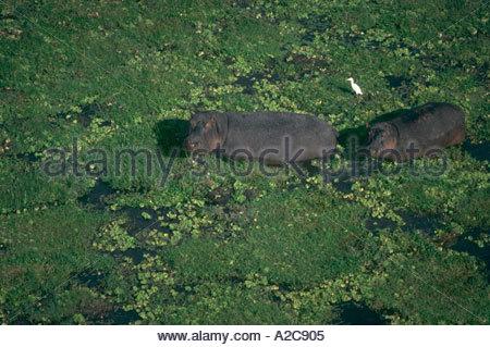 Luftaufnahme von zwei Nilpferd zu Fuß durch aquatische Laub im seichten Wasser Amboseli NP Kenia Nilpferd Amphibienbus - Stockfoto
