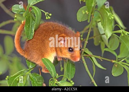 Gemeinsamen Siebenschläfer Hazel Haselmaus Muscardinus Avellanarius Klettern im Baum - Stockfoto