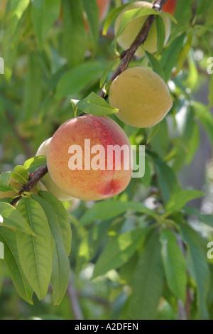 Zwei reife Pfirsiche auf einem Baum wachsen. - Stockfoto