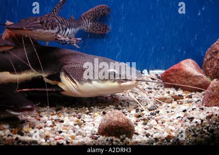 welse im aquarium phractocephalus hemioliopterus rotschwanz wels stockfoto bild 5995092 alamy. Black Bedroom Furniture Sets. Home Design Ideas