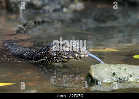 In der Nähe eines Wassers Waran, varanus Salvator, Reptile Zunge heraus, Sri Lanka, Asien - Stockfoto