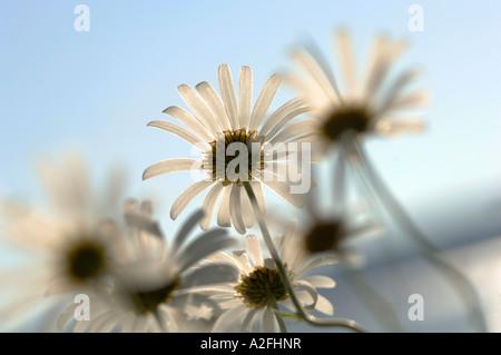Margeriten, close-up - Stockfoto