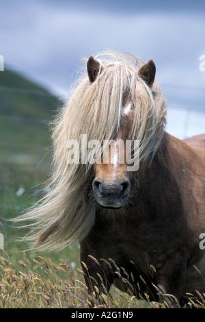 Germany/Deutschland, Shetland-Inseln, Shetland Pony-Hengst, die Mähne im Gesicht. Gefangenschaft, häusliche Pony. - Stockfoto