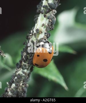 Sieben spot Marienkäfer Coccinella Septum Trommler Fütterung auf Black bean Blattläuse Aphis fabae - Stockfoto