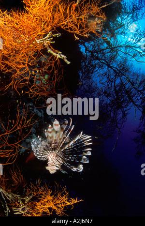 Feuerfische Anständen auf einer tiefen südlichen Roten Meeres Koralle Wand - Stockfoto