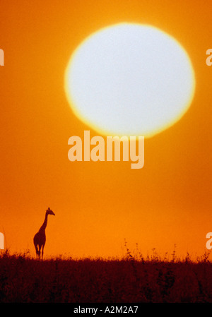 Giraffe gegen Sonnenuntergang - Stockfoto