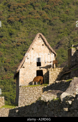 Alpakas Lamas bei Machu Picchu Peru - Stockfoto