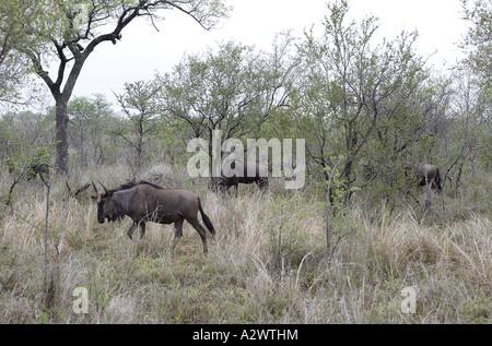 Gnus im Morgengrauen [1], Krüger-Nationalpark (Manyeleti Game Reserve), Südafrika - Stockfoto