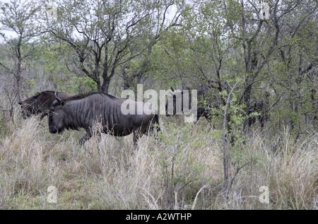 Gnus im Morgengrauen [2], Krüger-Nationalpark (Manyeleti Game Reserve), Südafrika - Stockfoto