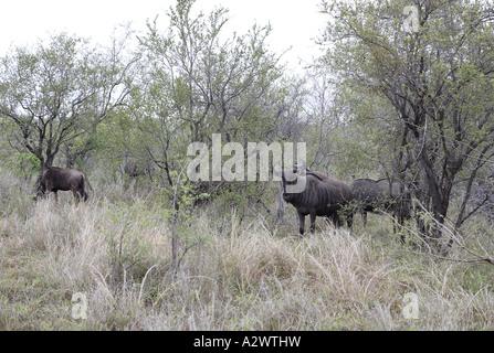 Gnus im Morgengrauen [3], Krüger-Nationalpark (Manyeleti Game Reserve), Südafrika - Stockfoto