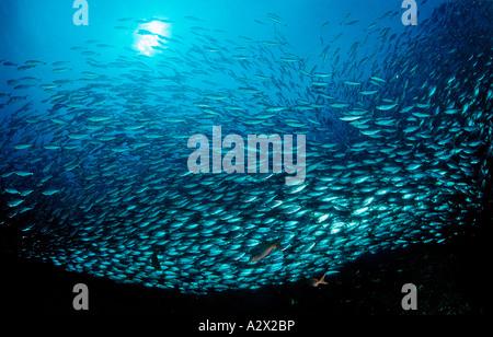 Schulbildung Pacific Chub Makrele Macarela Estornino Scomber Japonicus Mexico Sea of Cortez Baja California La Paz - Stockfoto