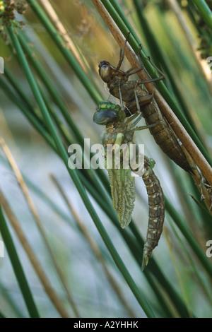 Gemeinsamen Hawker Libelle (Aeshna Juncea) Entstehung Sequenz 9. Die Libelle, Ausgangspunkt für seine Flügel zu - Stockfoto