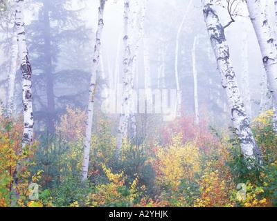 Shelburne Birken morgendlichen Herbstnebel - Stockfoto