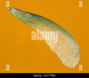 SAMEN DER SILBER-AHORN (ACER SACCHARINUM) / STUDIO - Stockfoto