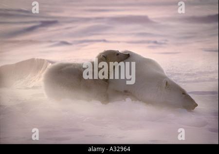Eisbär-Mutter und Jungtiere in den Wind Cape Churchill Manitoba Kanada - Stockfoto