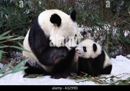 Mutter und Baby Panda Sichuan China - Stockfoto