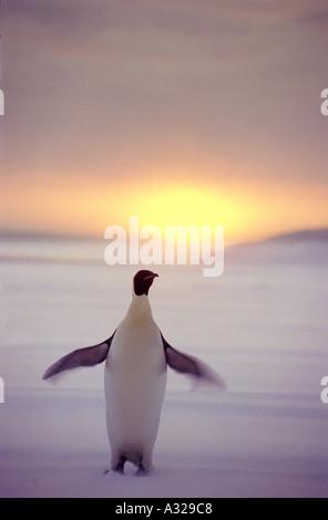 Kaiser-Pinguin - Stockfoto