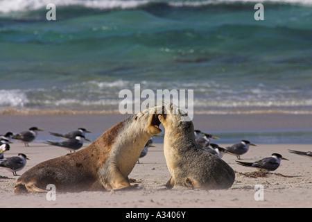 Australische Seelöwen, Neophoca Cinerea zwei Sub-Erwachsene spielen kämpfen - Stockfoto