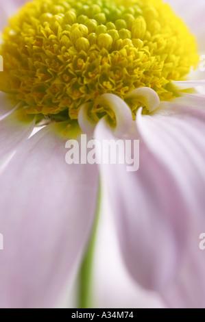 England, UK. Nahaufnahme eines einzigen pale pink Floristen chrysanthemum Flower - Stockfoto