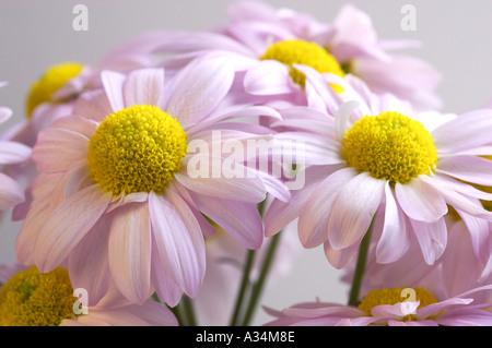 England, UK. Eine Detailansicht der pale pink einzigen Floristen Chrysanthemen (Chrysanthemum morifolium) - Stockfoto