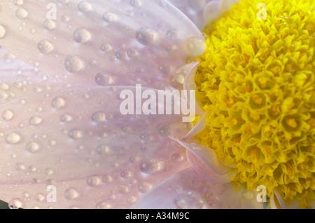 England, UK. Eine Detailansicht eines einzelnen pale pink Floristen mit Wassertropfen Chrysantheme (Chrysanthemum - Stockfoto