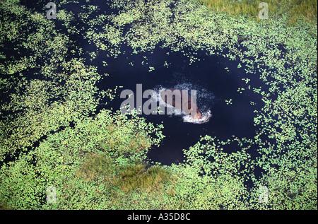 Flusspferde Baden im Sumpf Okavango Delta, Botswana - Stockfoto