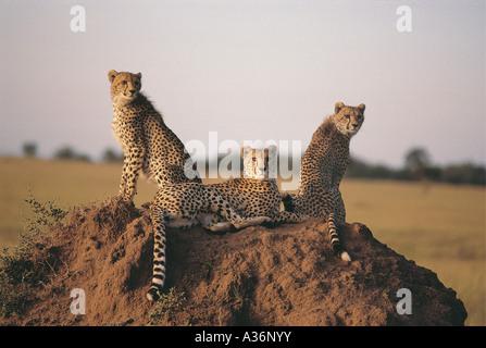 Erwachsene Geparden und zwei fast ausgewachsenen Jungen sitzen auf einer Termite Mound in Masai Mara National Reserve - Stockfoto