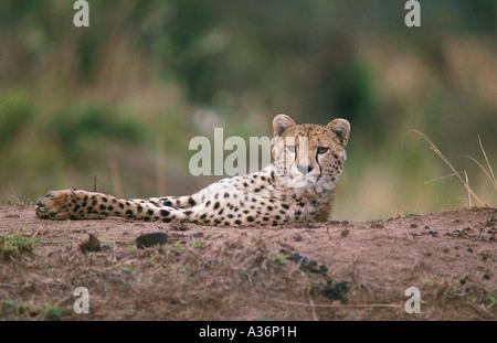Alert Cheetah ruht auf Termite Hügel in Masai Mara National Reserve Kenia in Ostafrika - Stockfoto