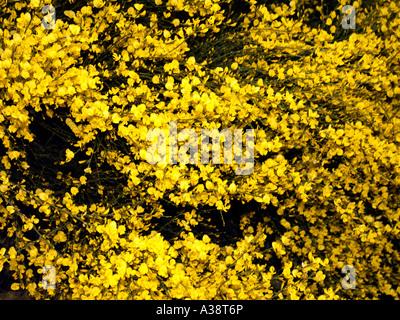 Besen in Blüte - Stockfoto