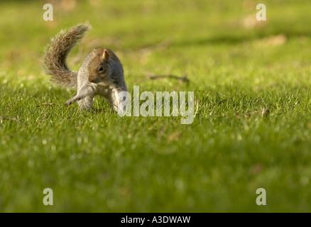 Grauhörnchen in St James Park in London - Stockfoto