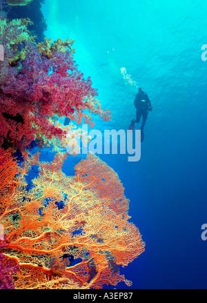 Scuba Diver vorbei ein riesiger Fan Korallen im Roten Meer schwimmen - Stockfoto