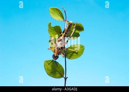 1 eine afrikanische Wüste Heuschrecke Schistocerca Gregaria Halbwüchsige GRASSHOPPER essen Feed-grünes Blatt blau - Stockfoto