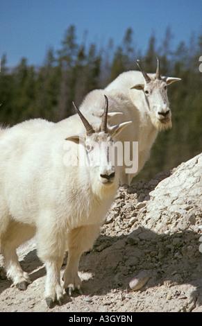 Rocky Mountain Goats Oreamnos Americanus Jasper Nationalpark Alberta Kanada - Stockfoto