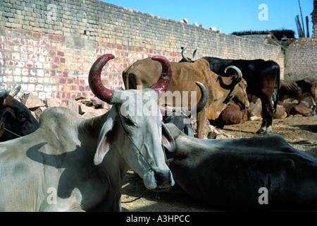 Heilige Kühe und Ochsen Stadt Agra Bundesstaat Uttar Pradesh, Indien - Stockfoto
