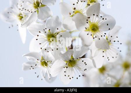 Weissdorn Blüte - Stockfoto