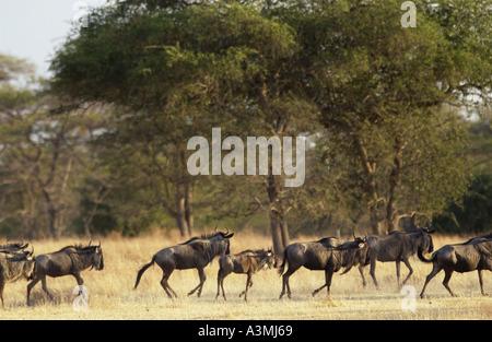 Herde von Migration blaue Gnus Grumeti-Tansania - Stockfoto